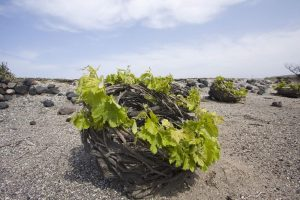 santorini-vineyard